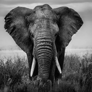 elefant botswana death - Images by News